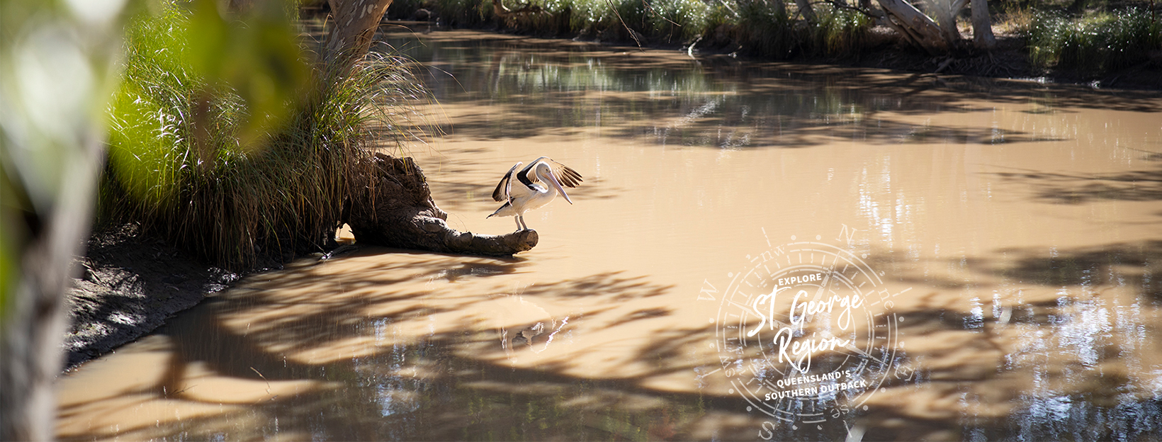 A pelican stands, flapping it's wings. The bird is perched on a log, which is partially submerged in a creek.